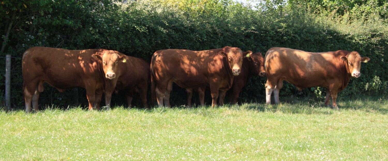 The Grove Herd